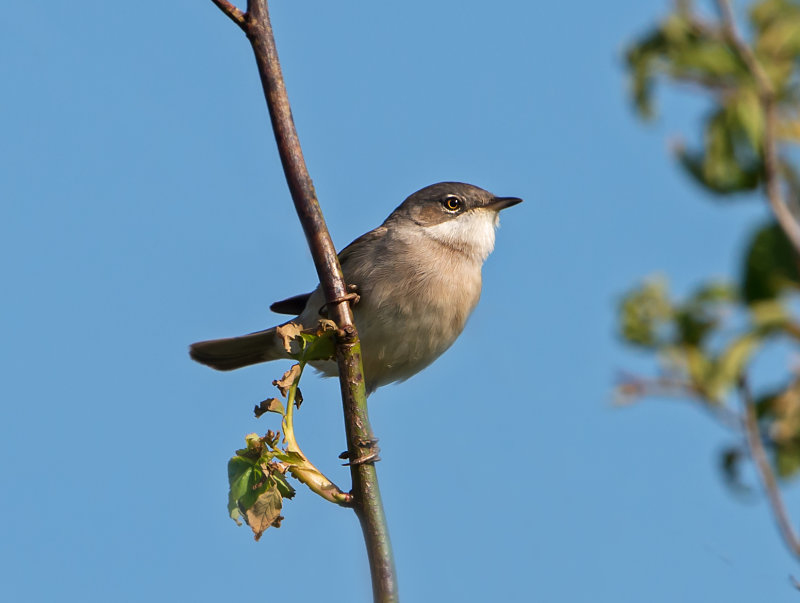 Lesser- Whitethroat-male