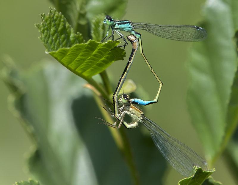 Blue-tailed-Damselflies