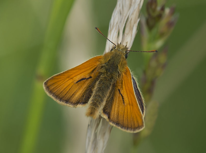 Small-Skipper