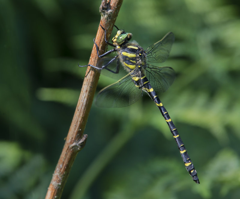 Golden-ringed-Dragonfly