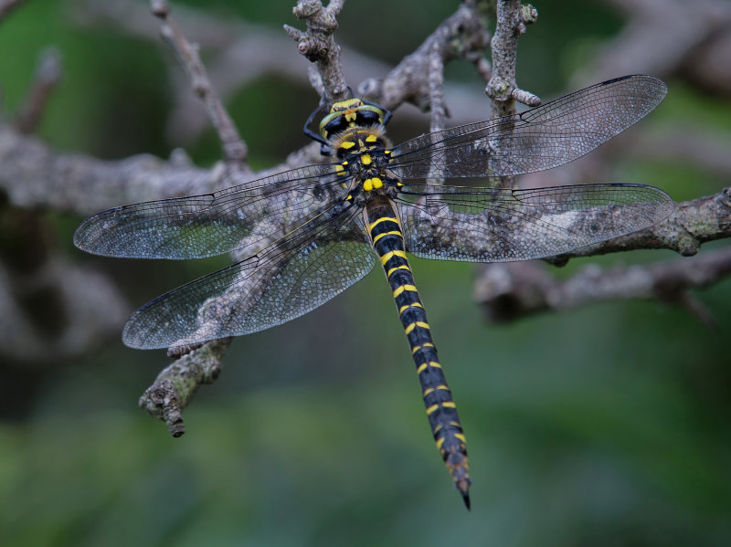 Golden-ringed-Dragonfly