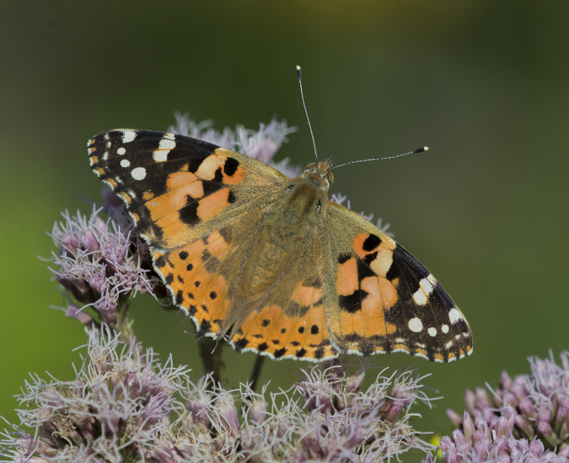 Painted-Lady