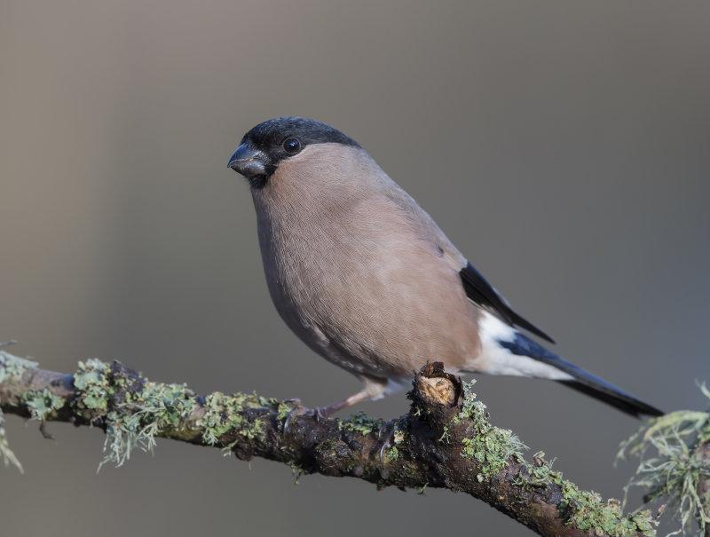 Bullfinch-female