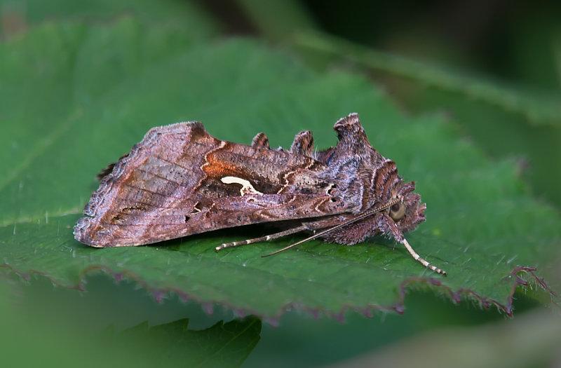 Silver- Y-Moth