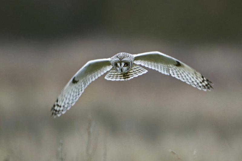 Short-eared- Owl