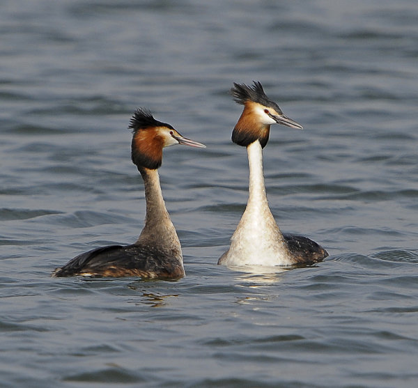 Great-Crested-Grebes