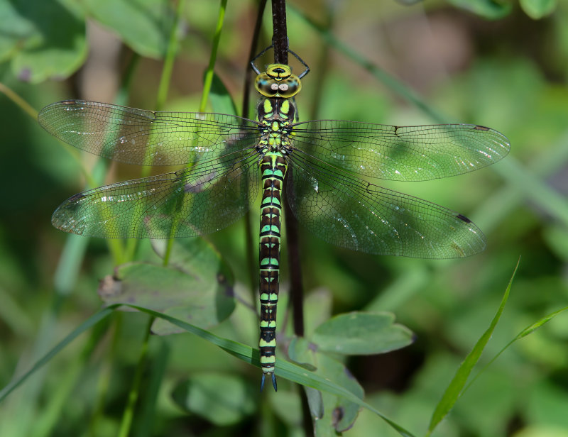 Southern-Hawker-female