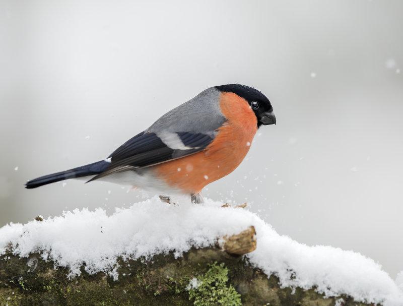 Bullfinch-male