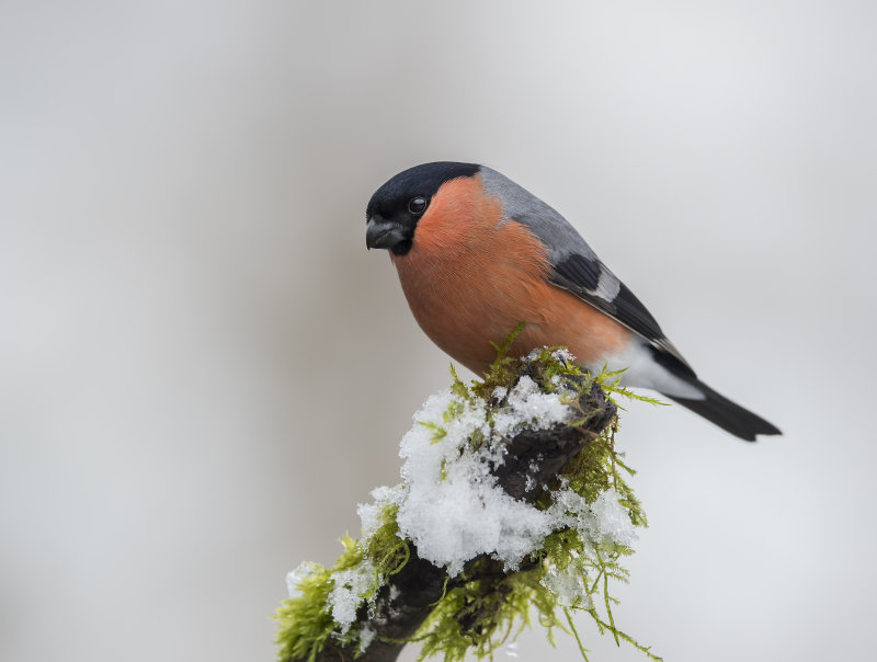 Bullfinch-male