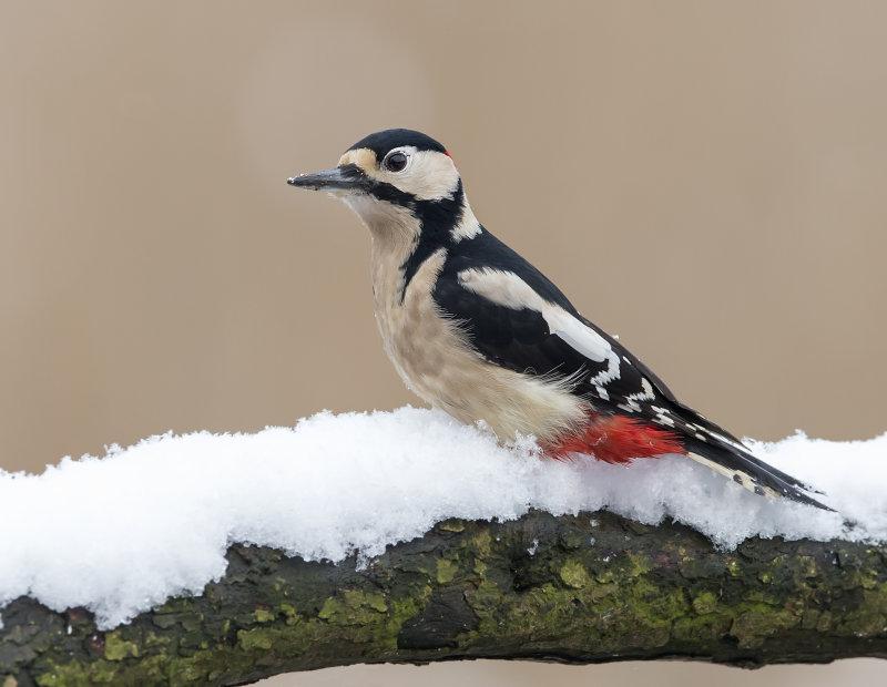 Great-Spotted-Woodpecker-female