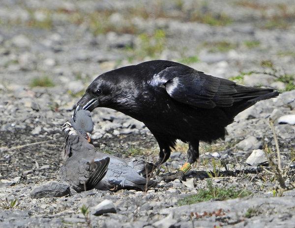 Male-Raven