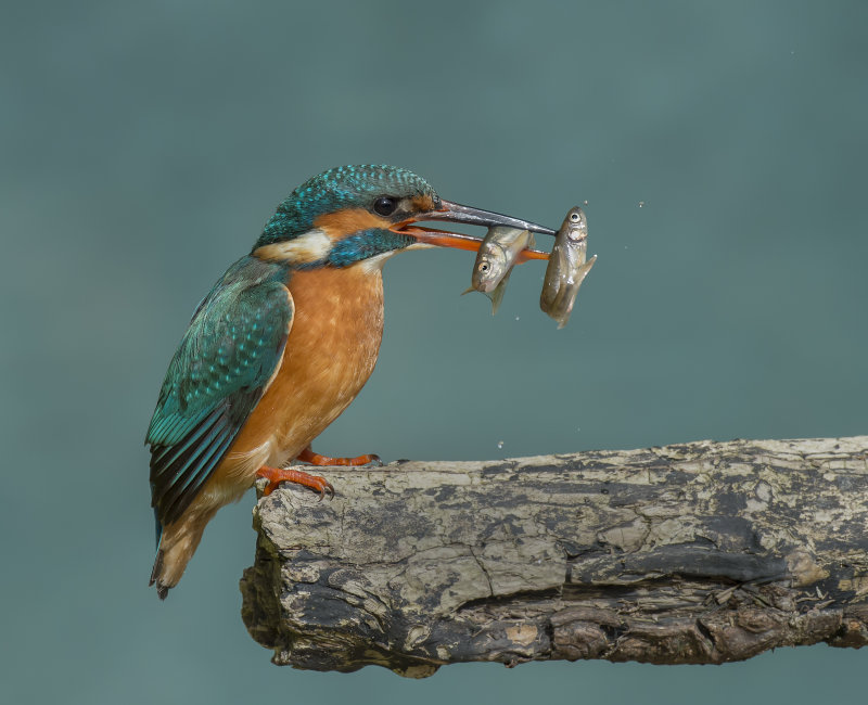 Kingfisher-female