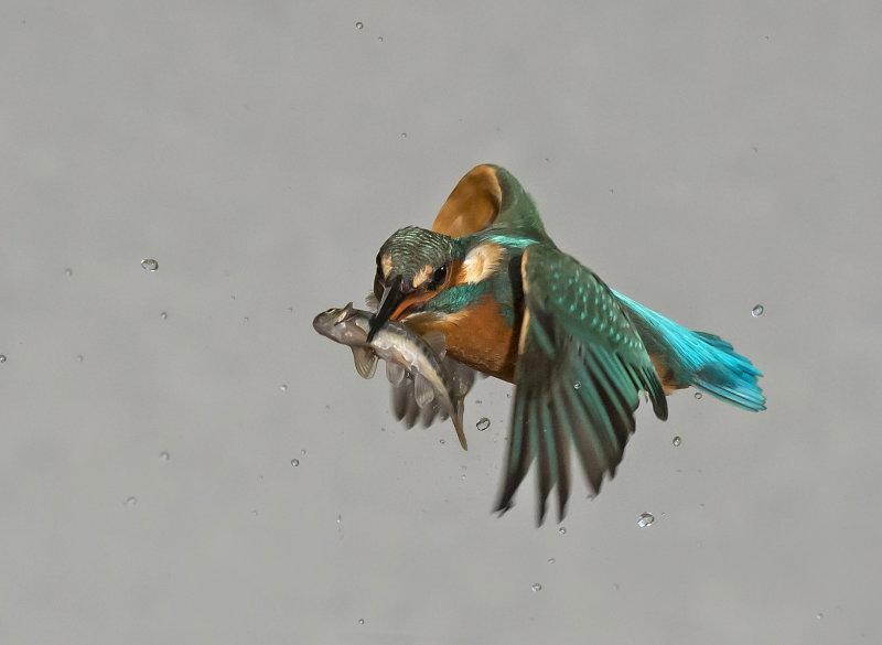 Kingfisher-female