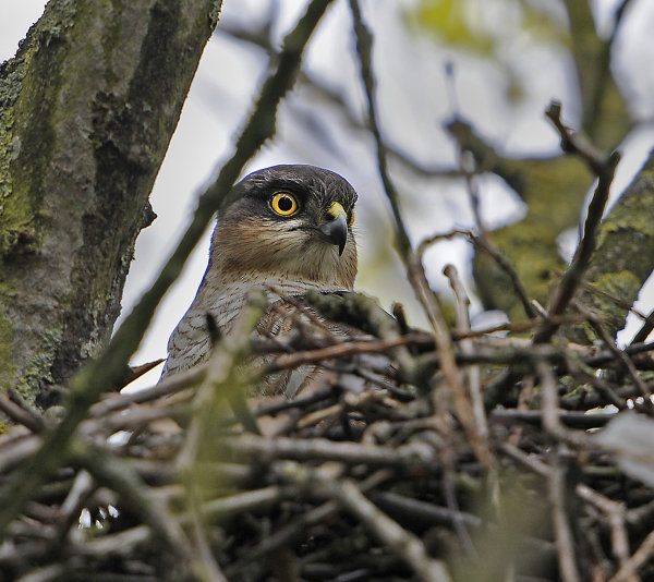 Female-Sparrowhawk