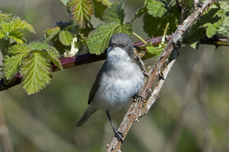 Lesser-Whitethroat