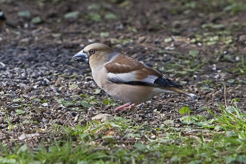 Hawfinch-female