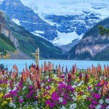 1020-Lake Louise flowers