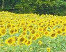 A Field of Sun