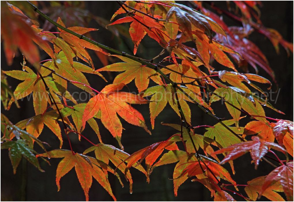 Acer Leaf in the spotlight