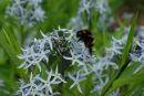 Allium & Buff Tailed bumble bee