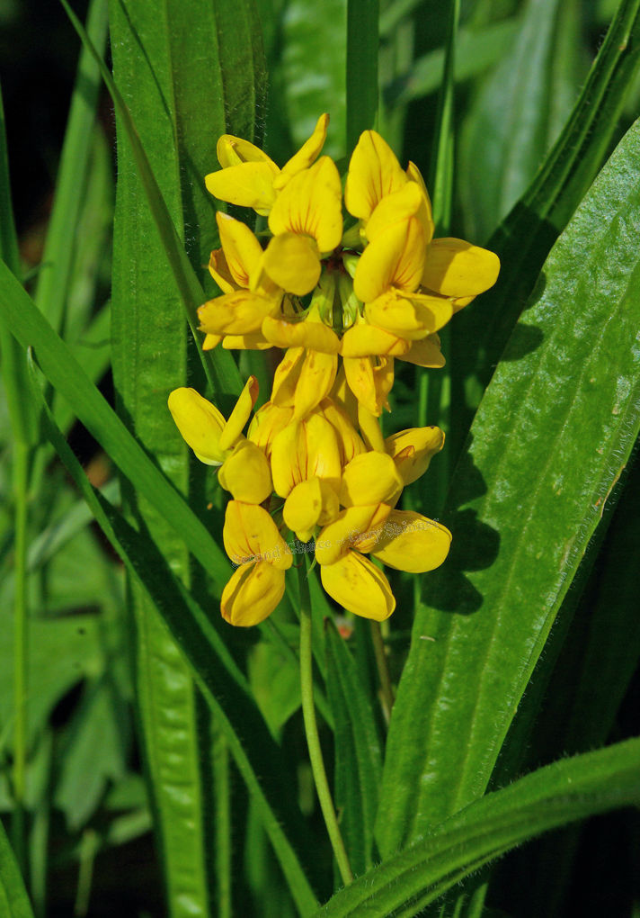 Common Fleabane