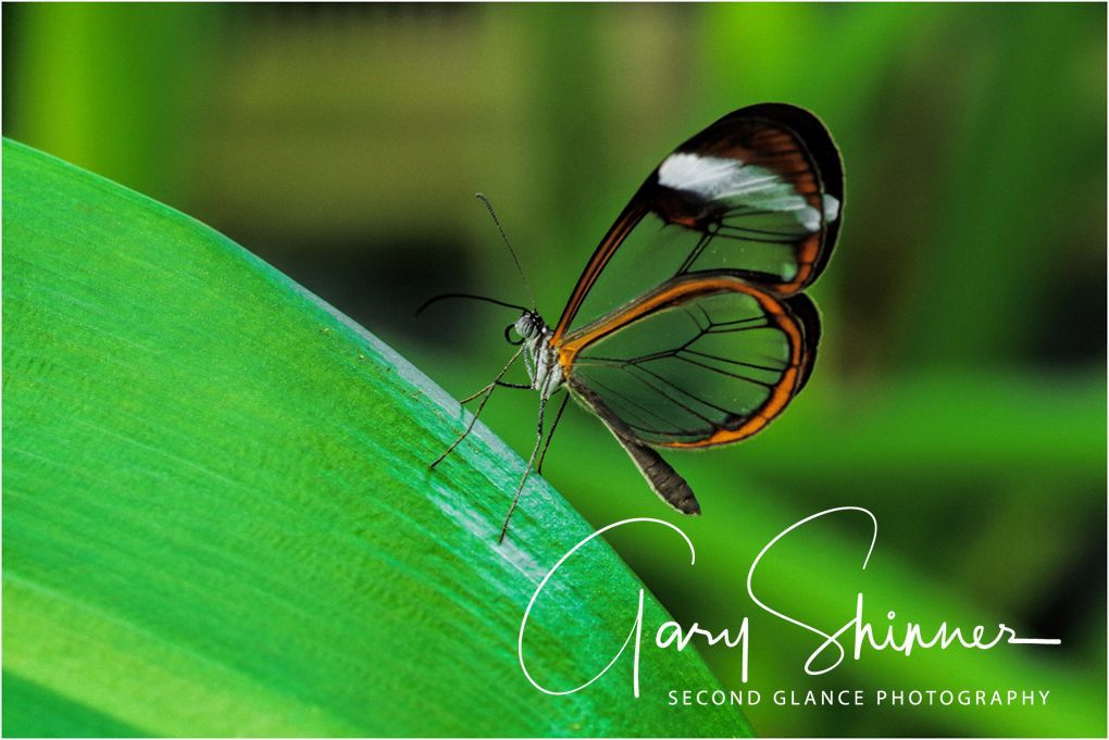 Glasswing No2