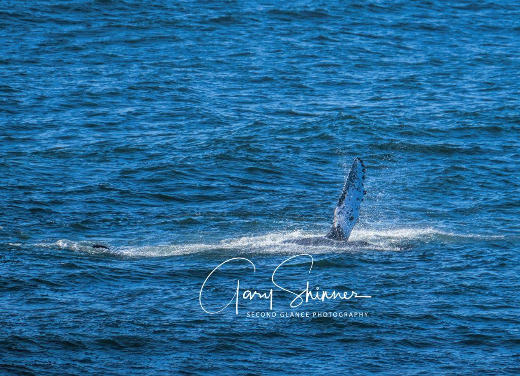 Humpback fin splashing