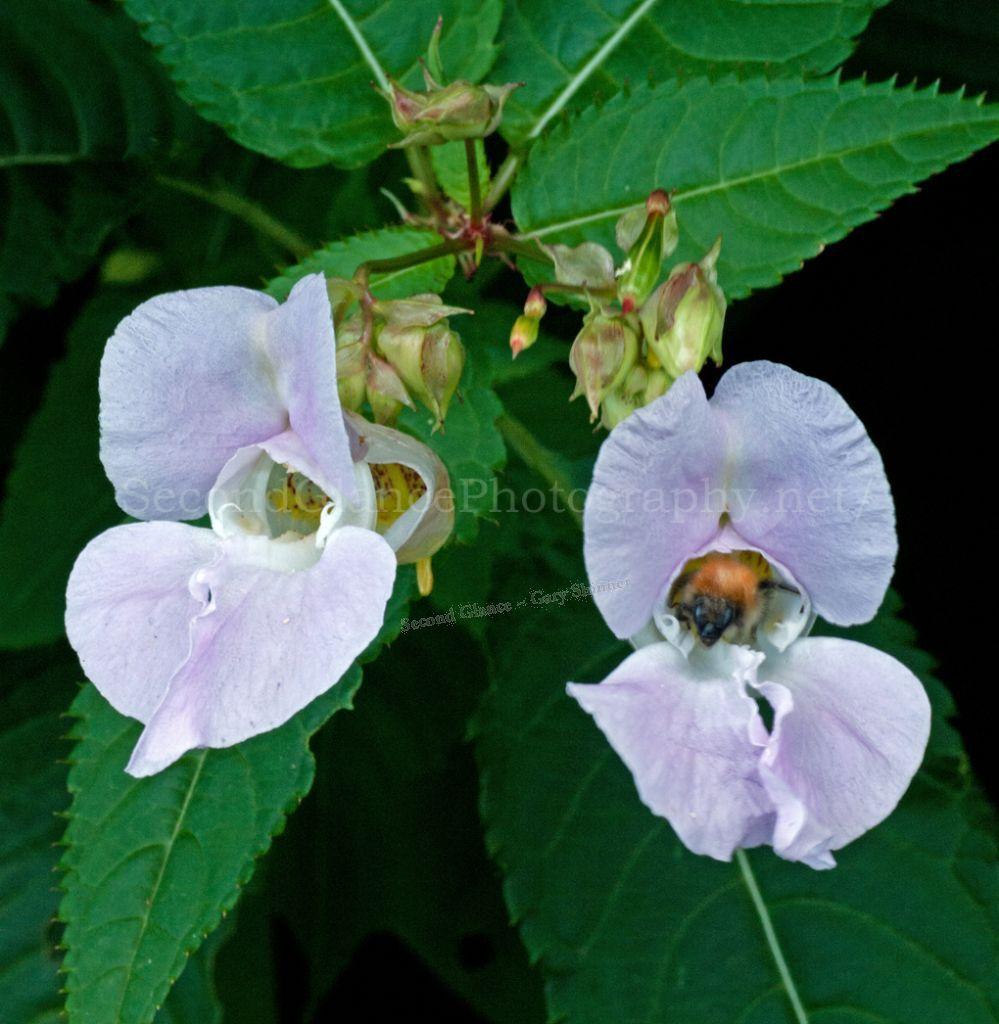 Glandulifera - Himalayan balsam.