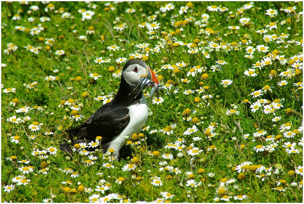 No.11 Puffin with Sand Eels