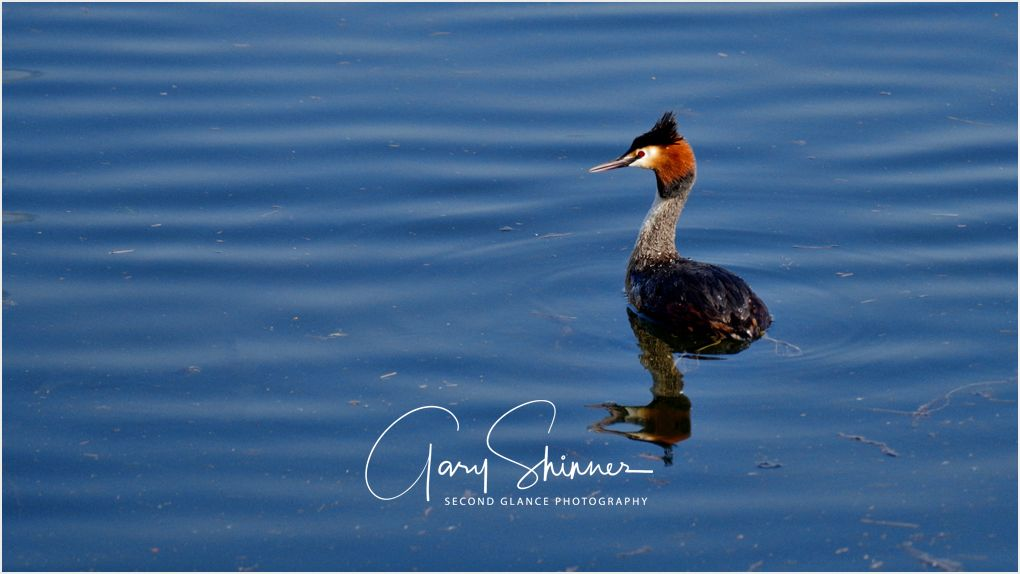 Portrait of a Crested Grebe