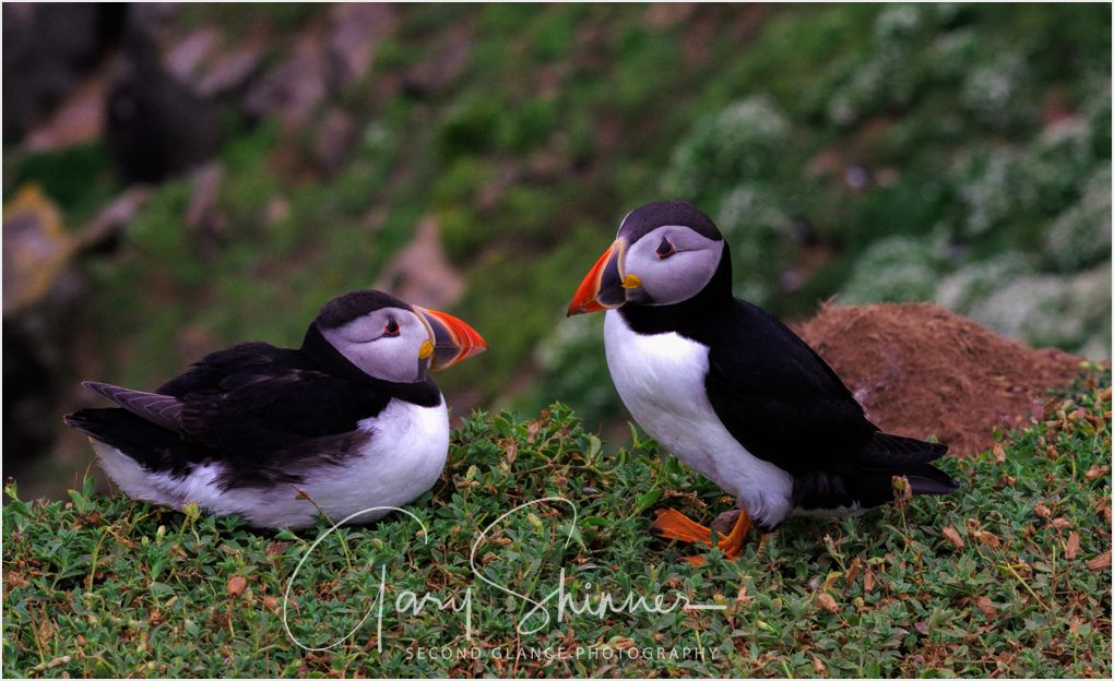 Puffins meeting