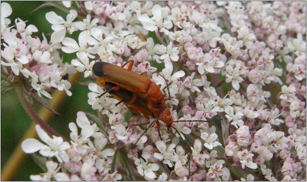 Rhagonycha Fulva (Mating) - Yarrow