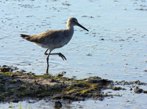 Sandpiper on the prowl