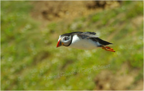 Soaring Puffin