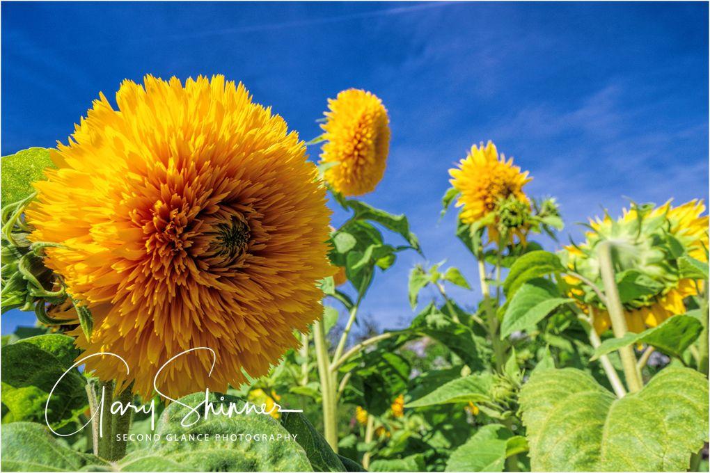 chrysanthemum skyline
