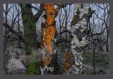 threetreeswatermarked