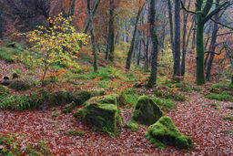 Mossy Boulders in Woodland