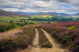 Track and Blooming Heather
