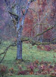 Tree and Bracken