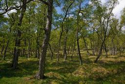Woodland, Glen Esk