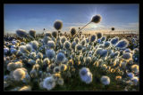 A Sea of Cotton Grass