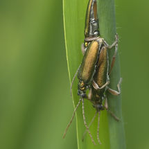Crowdy. Mating reed beetles