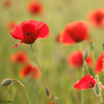 Where poppies grow.....