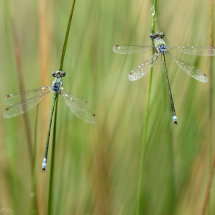Small emerald damsels (lestes virens)