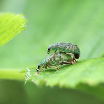 All green. phyllobius argentatus