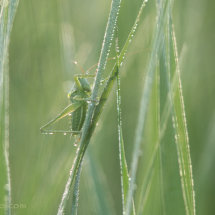 Fifty shades of green. (tettigonia viridissima)