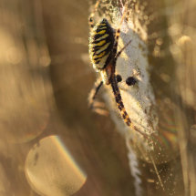 Morning has broken. Wasp spider in golden sunlight