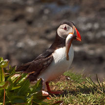 Puffin with fishy