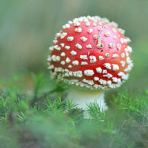Agaric with fly