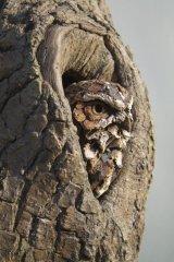 Little Owl in Resin cast tree hole